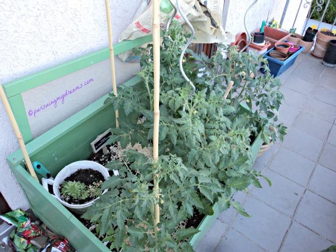 Disinilah saya menanam beberapa Jenis tomat