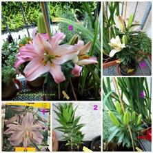 Nanam Bunga Lili Oriental Ungu ternyata pas mekar bunganya Pink