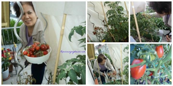 Mama lagi asyik memanen tomat-tomatku