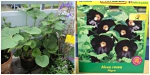 Stockrose  Nigra (Alcea Rosea) Dalam bahasa Inggris dikenal sebagai Hollyhocks