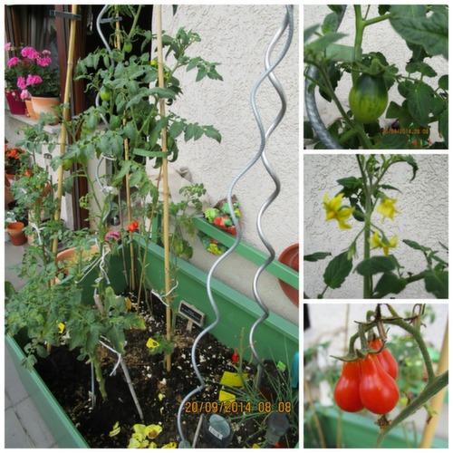 Tanaman tomat yang masih saya pertahanan sampai menjelang winter