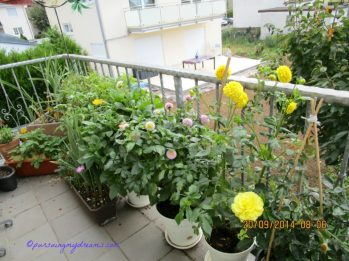 Deretan bunga-bunga Dahlia