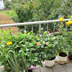 Senang banget lihat bermacam bunga dahlia aneka bentuk dan warna
