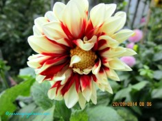 Dahlia Fire and Ice