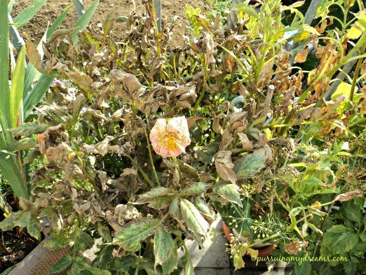 Bunga Dahlia saya diserang hama laba-laba mini yang warnanya merah