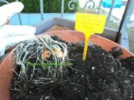 Umbi tulip dan anakannya yang didormant sudah tumbuh akarnya. Siap ditanam kembali