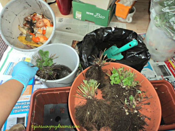 Bongkar pot stroberi. Ganti tanahnya, berikan sampah dapur sebagai pupuk. Foto 2 Maret 2015