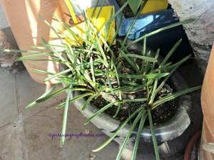 Muscari alias grape hyacint, bakal bunga sudah nongol