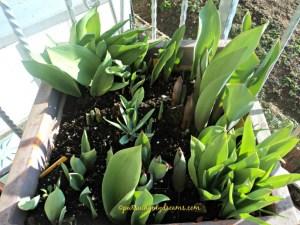 Lebat banget daunnya, kebanyakan adalah anakan tulip yang saya lagi besarkan umbinya