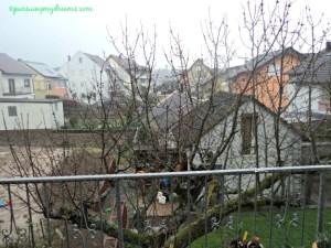 Pohon Cerry tetangga