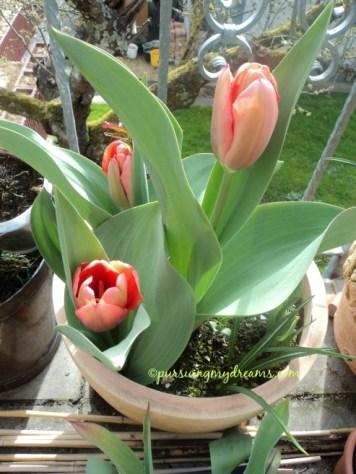 Tulip xxl