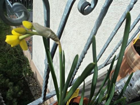 Dafodil multiflora