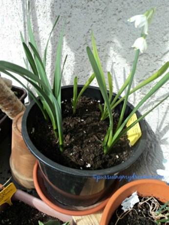Loddon Lily (Leucojum aestivum) atau Giant Summer snowflake. Umbinya dari 2 tahun lalu, tiap tahun berbunga