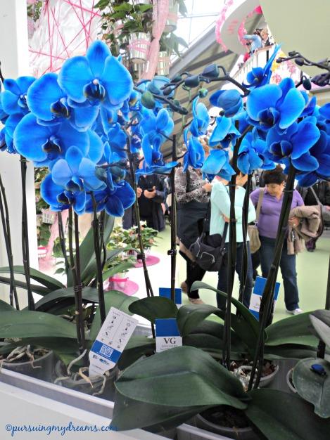 Anggrek biru di Keukenhof. Harganya sama saja seperti di Jerman kalau di rupiahkan 405.000. Ingat Edi di Riau nanya anggrek biru