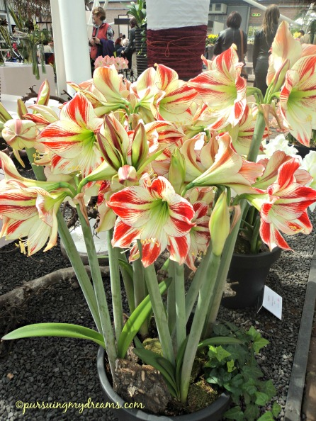 Amaryllis yang warna bunganya unik
