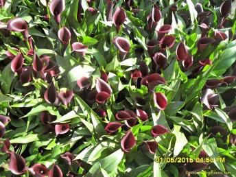 Bunga Calla hitam di Keukenhof