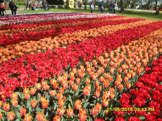 Keukenhof- Most beautiful Tulip Garden