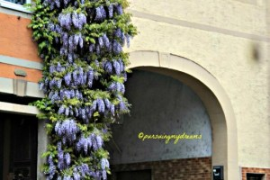 Wisteria Tree in full bloom Sinsheim Germany
