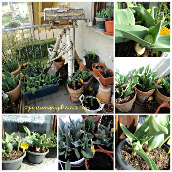 Berbagai jenis tulip yang saya tanam ketika musim gugur 2014. Mulai tumbuh saat musim semi