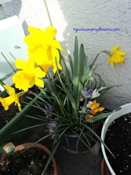 Narcissus dutch master bunganya besar, kombinasi nanam dengan krokus