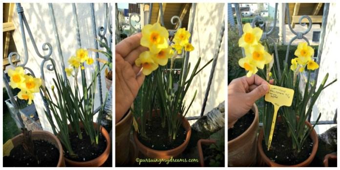 Narcissus falconet. Ini jenis yang wangi, namun tidak sekuat avalanche wanginya. Potret 16.04.2015