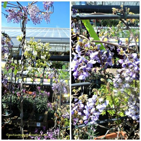 Berbagai jenis wisteria