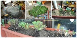 Tanaman stroberiku saat dibuka bungkusnya ketika musim semi. Segar bugar hijau dan lebat. Foto bawah setelah dipangkas