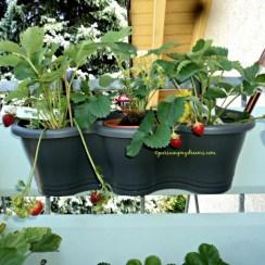 Kiri Strawberry Florence