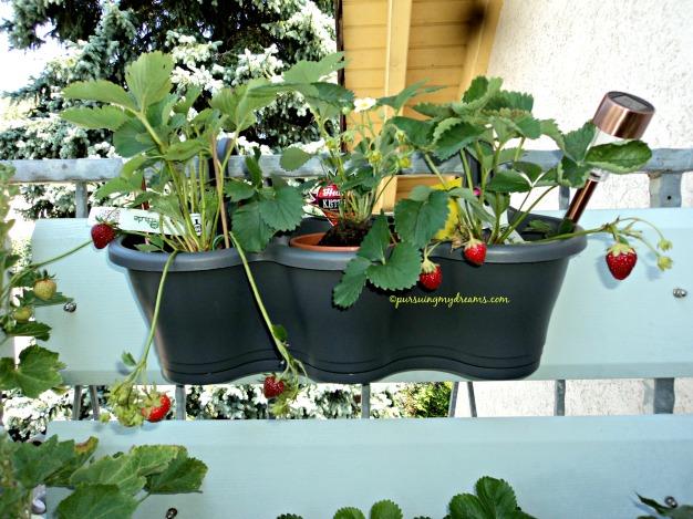 Tergila-gila Menanam Strawberry (Bagian 2). Kiri Strawberry Florence. Strawberry Toni Merambat (Hummi KletterToni) yang tengah. Kanan Strawberry Korona Fragaria vesca Korona)