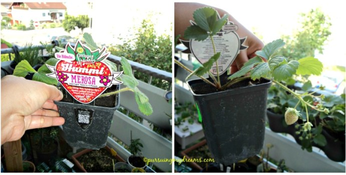 Strawberry Hummi® Merosa, bunganya berwarna pink