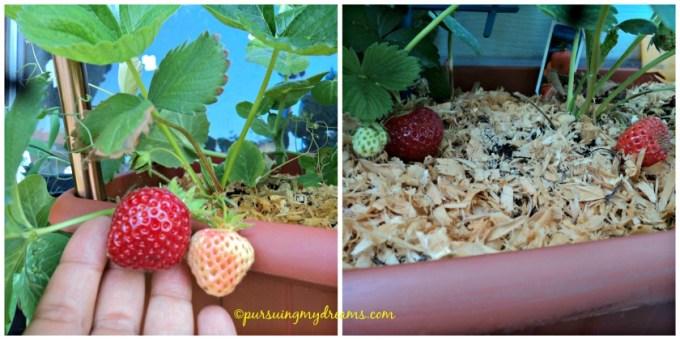 Strawberry sweet mary xxl. Sesuai dengan namanya, rasa buahnya manis. Ukuran biasa tidak xxl deh