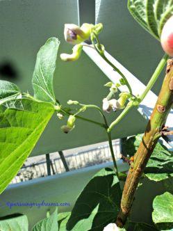 Bunga tanaman buncis, tinggal tunggu buahnya muncul