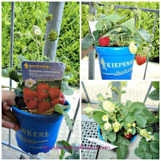 Strawberry Elan F1 dari semua tanaman yang beli, jenis ini buahnya yang paling besar