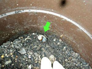 Ternyata dibagian akar tanaman tomat saya nemu larva kumbang ini, bikin rusak akar tanaman, langsung saya buang jauh, semoga dimakan burung