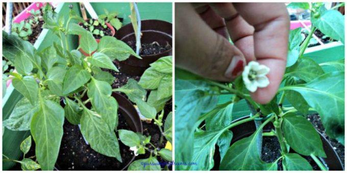 Tanaman paprika sudah banyak bunganya, semoga sempat panen ga keburu datang winter, karena pernah nanam paprika dai bibitnya tuh lamaa baru berbuah