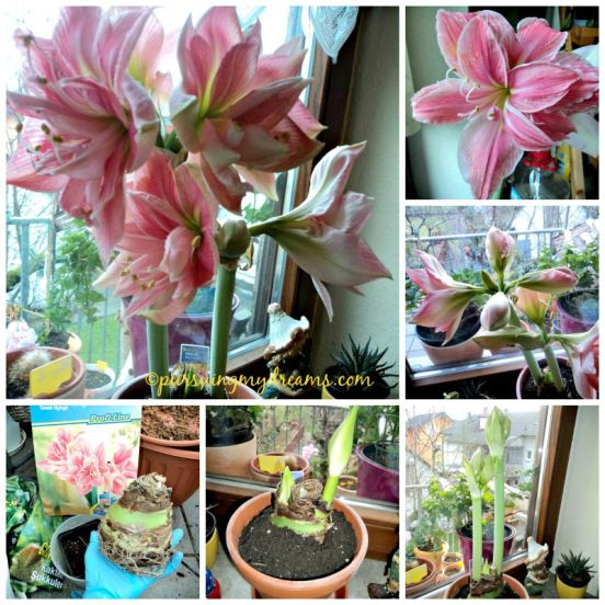 Tips Perawatan Bunga Amaryllis. Sweet Nymph Amaryllis. Amarylis dobel flower yang cantik. Mekar Januari 2015, akhir september di dormat dulu 6 minggu