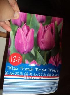 Tulip Purple Prince – Tulip Ungu