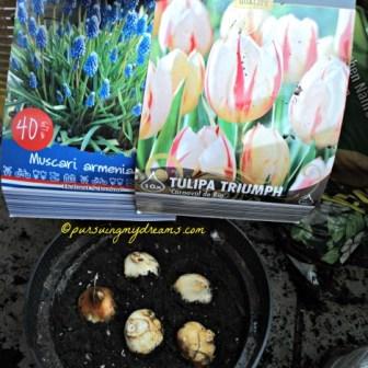 Tulip merah putih carnaval de rio, kombinasi dengan grape hyacint