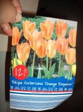 Tulip orange emperor. Tulip Fosteriana