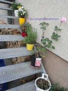 Beberapa Bunga Krisan di tangga masuk rumah