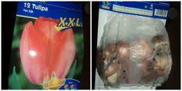 Tulip xxl Van Eijk