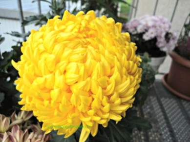 Chrysanthemum King's Pleasure