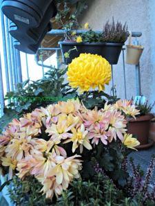 Cantiknya Bunga Krisan di musim gugur