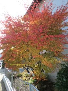 Cantik sekali warna daun nya ya. Kalau tidak salah ini pohon Maple. Foto 24 oktober 2015
