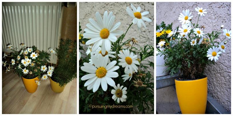 Bunga Krisan Bunganya Musim Gugur yang Indah