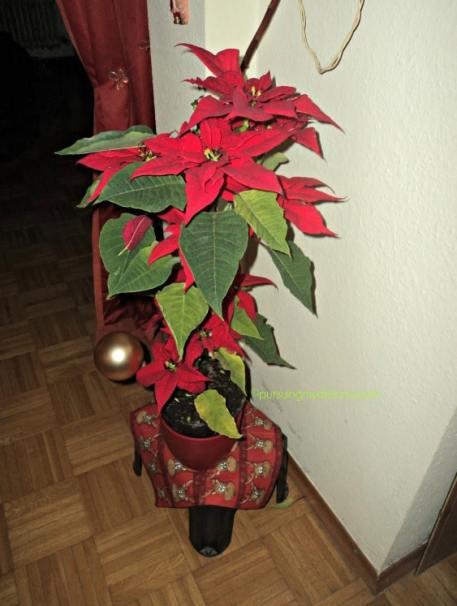 bunga merah khas natal. Poinsettia. Euphorbia pulcherrima. Di Indonesia dikenal dengan nama Kastuba. Foto tahun lalu 2014 di rumah ibu mertuaku
