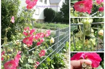 Bunga Hollyhock  di taman orang