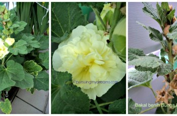 Bunga Hollyhock  dobel flower kuning