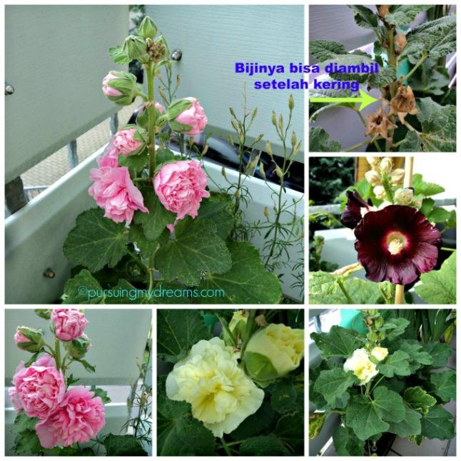 Hama dan Penyakit Pada Bunga Hollyhock