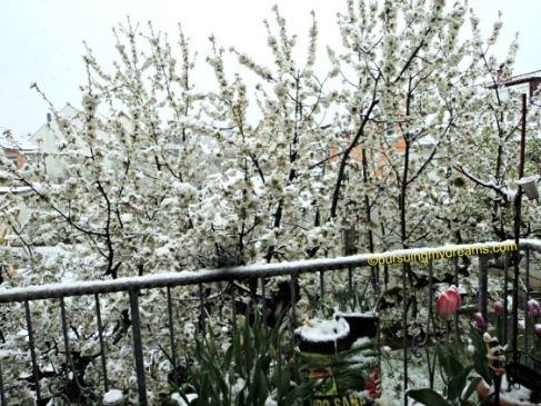 Tahun ini belum sempat selfie dengan background cherry blossom tetangga